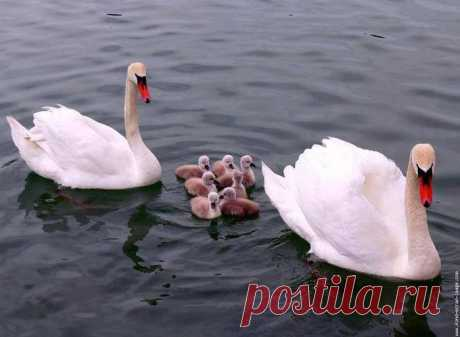 Озеро. Закат. Лебеди...