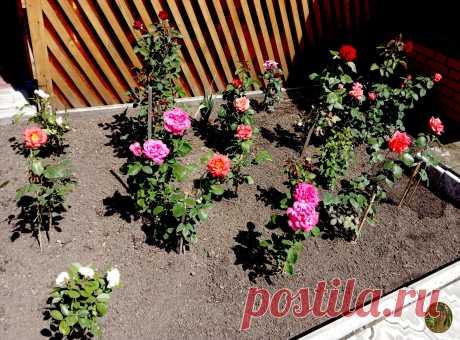 Пять моментов по уходу за розами, благодаря которым эти цветы радуют меня все лето своей красотой и цветением | Удачная Дача - Векессер Светланы | Яндекс Дзен