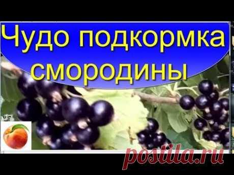 Чудо подкормка  для Смородины Ягода станет больше и вкуснее Miracle fertilize Сделайте это!! дома)