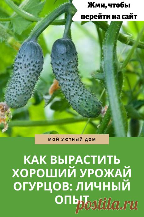 Отличные советы как вырастить хороший урожай огурцов