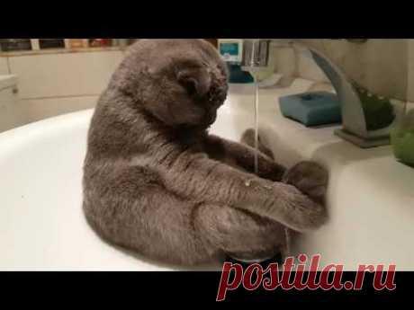 Кот в раковине Шотландский вислоухий котик может похвастаться красивой серо-коричневой шубкой, а ещё умением самостоятельно открывать кран.