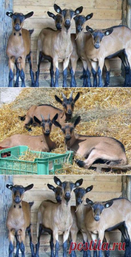 Чешские козы – описание бурой короткошерстной породы