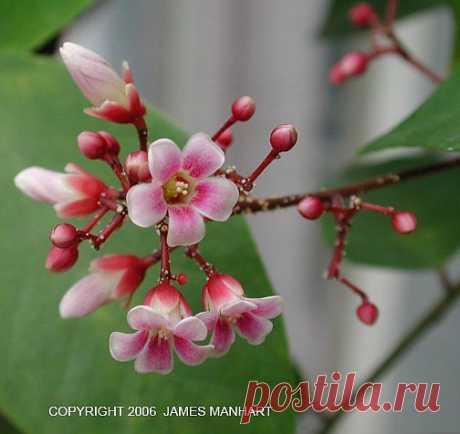Как вырастить КАРАМБОЛУ дома.... / Природа / комнатные цветы / Pinme.ru / Алла Рыбчинская