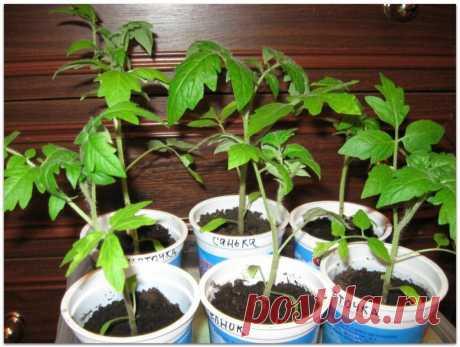 Основные проблемы с рассадой томатов и способы их решения
