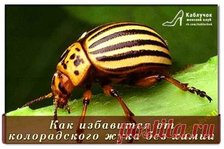 Как избавится от колорадского жука без химии?.