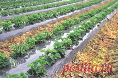 Мульчирование клубники пришло к нам из-за границы. Там давно применяют данное новшество при выращивании клубники и земляники. В основном такая технология выращивания используется на промышленных фермах, но все чаще можно встретить замульчированные грядки в частном саду.