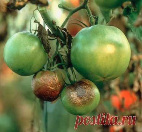 Как уберечь помидоры от фитофтороза