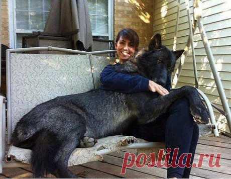 ღ Хραнนлนще сmαтγсов ღ Это гибрид...смесь собака с волком... Очень красивое существо