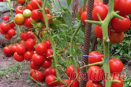 Использование йода для подкормки помидоров
