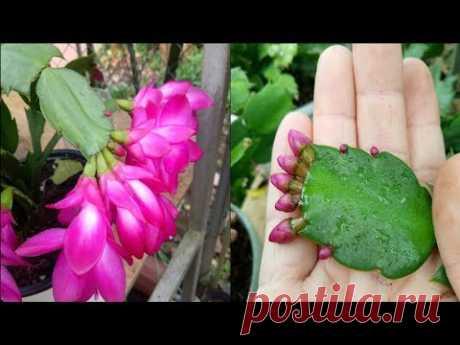 Привитый рождественский кактус | Прививая деревья, чтобы получить красивый цветочный горшок p2