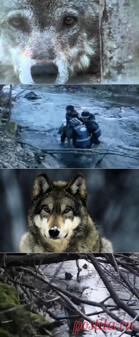 Девушки заметили волка в ледяной воде и не побоялись помочь. Зверь очнулся и отблагодарил за храбрость