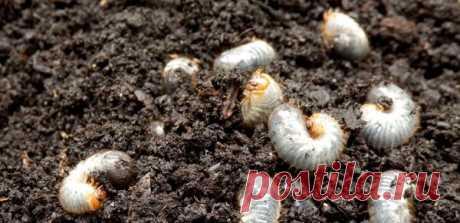 Белые личинки в компосте - это не майский жук, а отличный помощник для огородника | Волшебная грядка | Яндекс Дзен