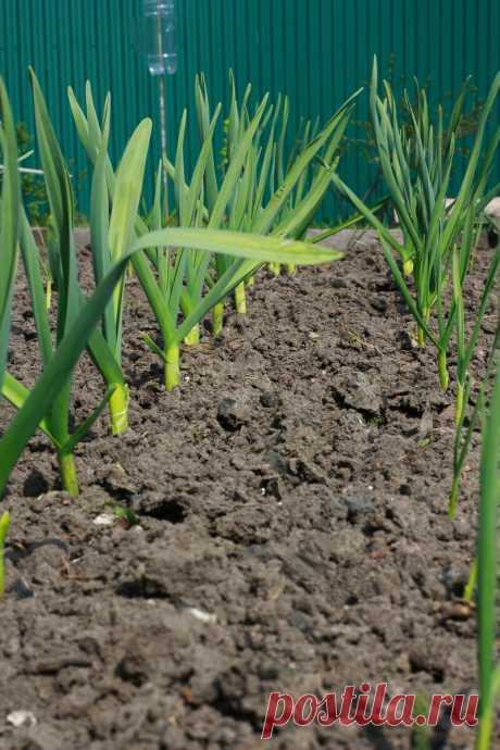 Конец августа - надо готовить грядку под чеснок. Рассказываю, как я делаю - наработки многих лет, работающие на кг урожая 😍 | Секреты сада и дачи | Яндекс Дзен