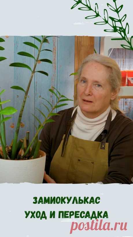 Дача 🏡 Сад 🌳 Огород 🍆 Цветник🌷 в Instagram: «Замиокулькас, благодаря своей неприхотливости и декоративности, стал одним из самых популярных растений для дома и офиса. Но даже с ним…»