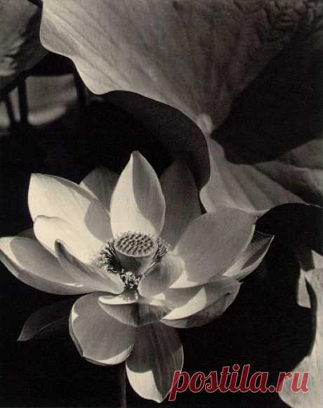 Lotus mount kisco New-York 1915