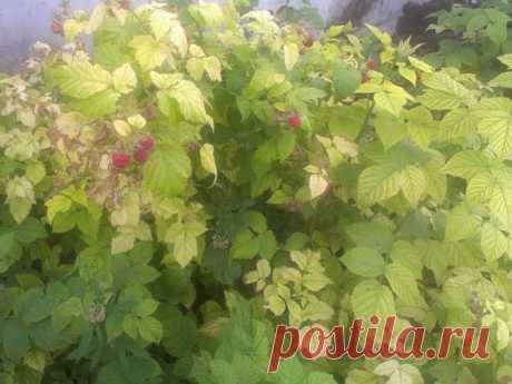 Светло-зеленые листья у малины: почему и что делать