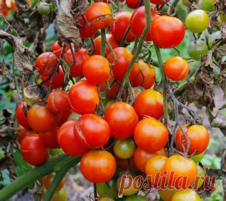Fitoftoroz of tomatoes: national methods of fight against a phytophthora