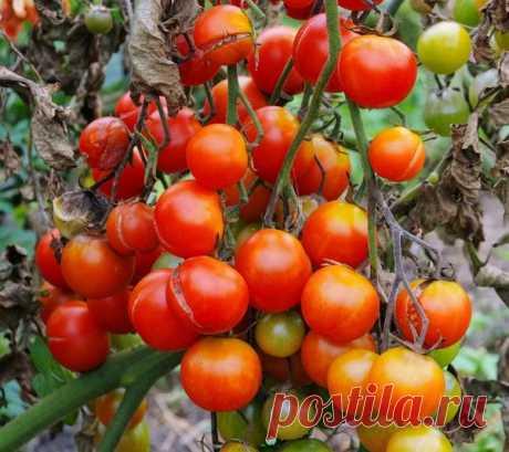Фитофтороз помидоров: народные методы борьбы с фитофторой