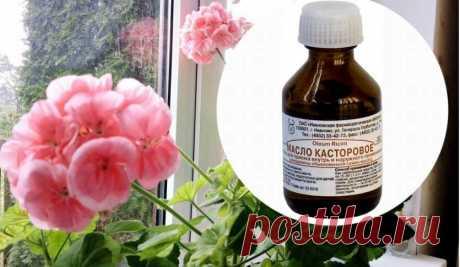 """Касторка оживит слабые цветы и заставит их обильно цвести Эффективность касторового масла как подкормки доказана садоводами id 5d398e7935ca3100ac1d2ef4 kastor"""""""