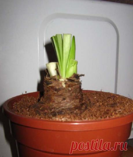 Почему не цветет гиппеаструм: как помочь растению | Все о цветоводстве | Яндекс Дзен