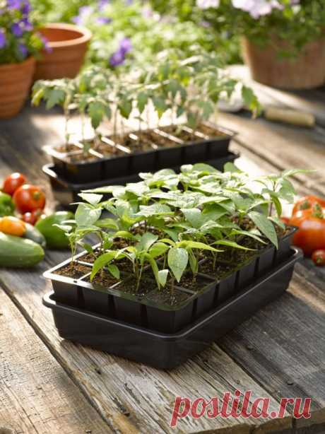 Terms of crops of vegetable cultures on seedling for various regions
