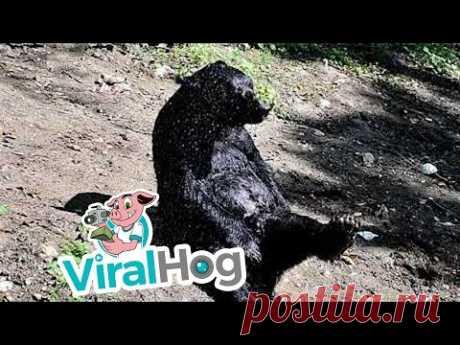 Медведь с радостью принимает душ