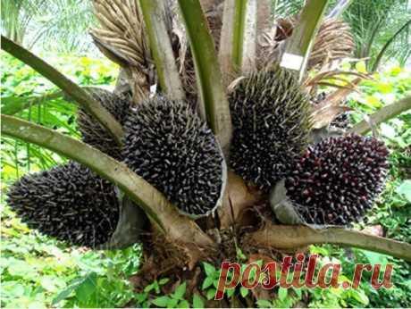Страшнее ртути и цианида: Как нас травят пальмовым маслом.