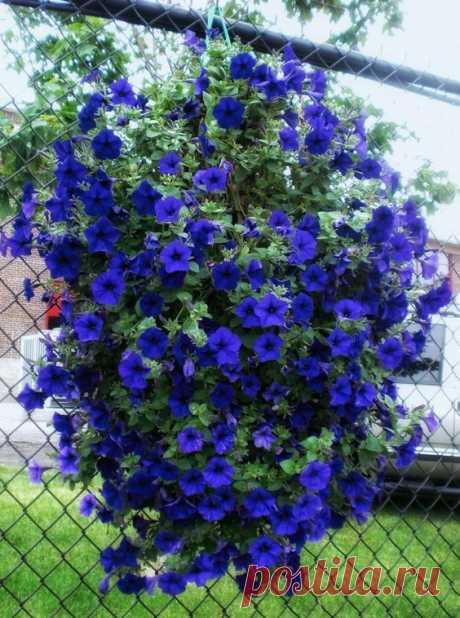 Пользователь Debbie Pope сохранил этот пин на доску «Flowers».    Indigo Color Hanging Petunias Flowers!|  Pinterest