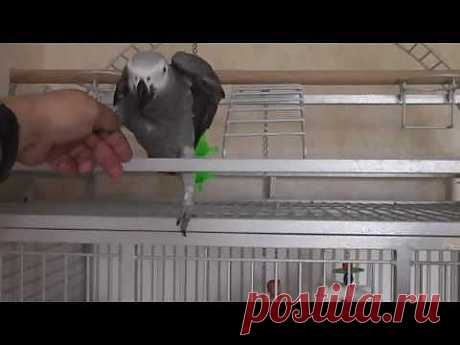 ▶ Попугай Григорий и собака Джонни - 2013 (29) - YouTube
