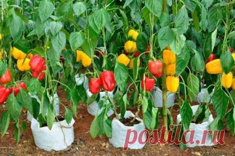 Хитрость огородников: как быстро прорастить семена перца