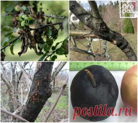 Что делать, если на яблоне трескается и отслаивается кора - Садоводка