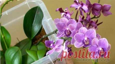 Способ полива орхидей Вы купили орхидеи, она у вас постояла, отцвела и начала болеть. Орхидные известны не только красотой, но и капризностью в содержании. Если листья орхидеи потеряли тургор и морщинятся, давно она вас не...