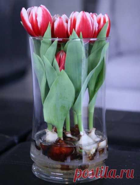 Когда хочется весны: Как вырастить тюльпаны и нарциссы в вазе — Мир интересного