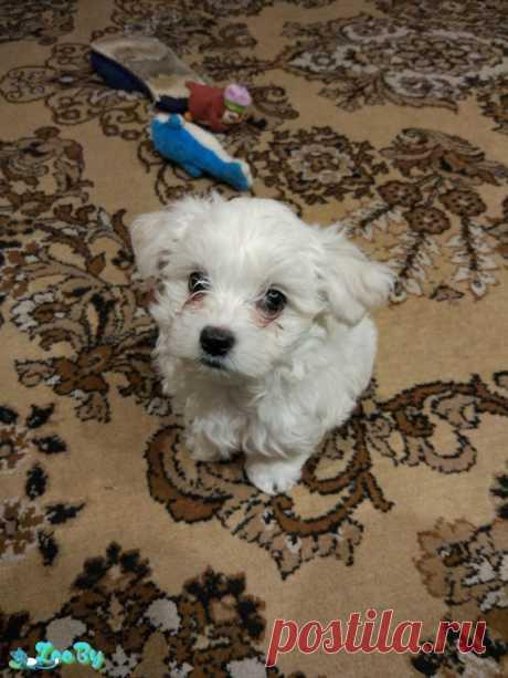 Продам щенка мальтийской болонки купить в Минске на сайте объявлений