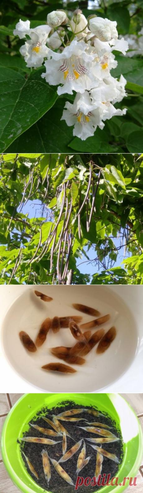 Красивоцветущее дерево Катальпа - выращивание из семян.