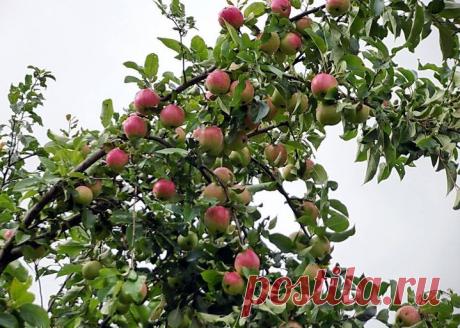 Если бы я раньше знала, что делать, когда яблоки гниют прямо на дереве, то не теряла бы столько урожая! Делюсь своим опытом | Рукоделкино | Яндекс Дзен