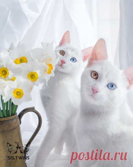 Фантастические кошки-близнецы с геохроматическими глазами