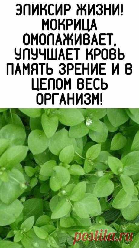 Мокрица Омолаживает, улучшает кровь память зрение и в целом весь организм!  Мокрица – это истинная кладовая полезных веществ. Особенно много в ней витаминов «С» и «Е», и редкого для растений витамина «К», регулирующего свертываемость крови. Содержит она и минералы: железо, магний, медь, кобальт, а также фитонциды. Это скромное растение обладает ценнейшими свойствами: противовоспалительным, антисептическим, противоцинготным, умеренными желчегонным и мочегонным, и гипотензив...