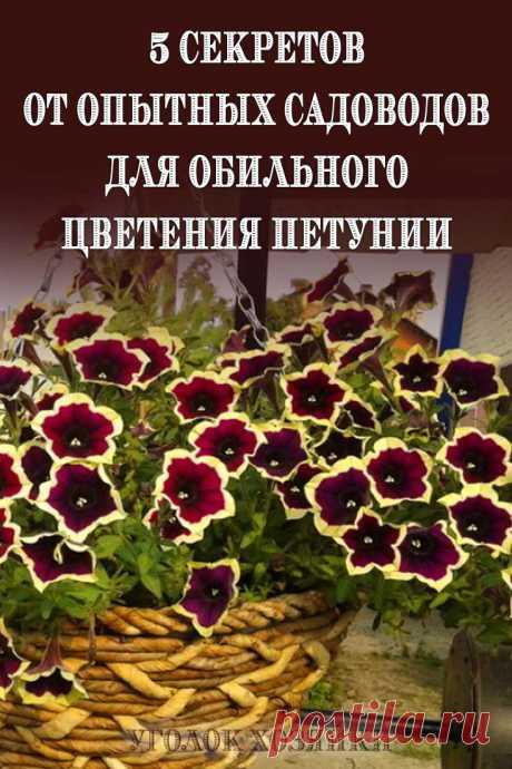 Секрет успеха в выращивании петунии прост: Большая емкость +регулярные подкормки и достаточный полив +удаление отцветших цветков.