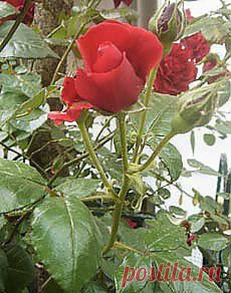 Согласно архиологическим данным, розы существуют на Земле уже около 25 млн лет, а в культуре известны более 5 тысяч лет. Несмотря на столь почтенный возраст, они продолжают пользоваться огромной популярностью. Еще за 300 лет до н.э. греческий естествоиспытатель Теофраст не только описал розы, среди которых он различал дикие и садовые, но и впервые указал способы их размножения, посадки и ухода за ними.