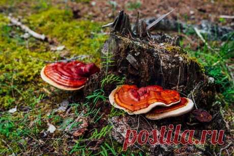 Лекарственные грибы — где собрать и как употребить? Названия, описания, фото — Ботаничка.ru