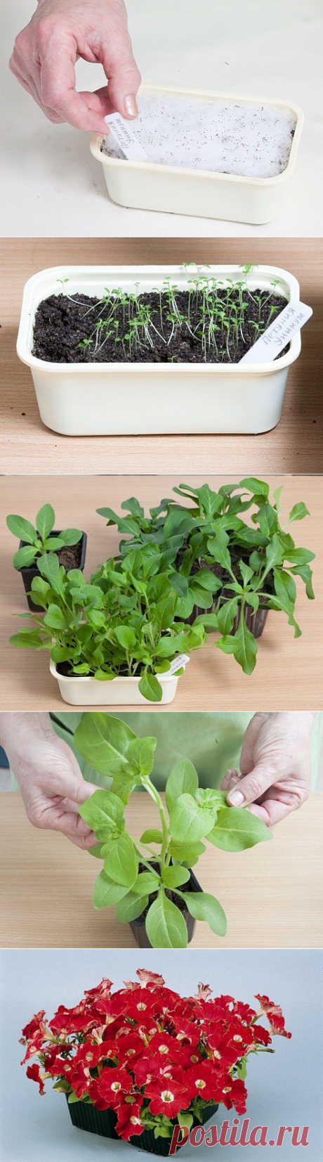 Петуния: выращивание рассады