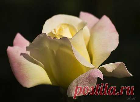 Роза подобна утренней звезде.