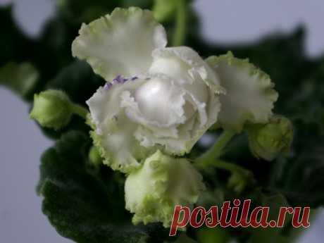 """Фиалка """"зеленая лагуна"""": фото и описание"""