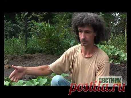 """Сажаем правильно огурцы (Видео) / Урок от журнала """"Вестник цветовода""""."""