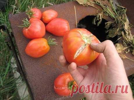 Что делать чтобы помидоры не трескались. Помидоры не будут растрескиваться, если ближе к сбору урожая полив томата сократить и в течение недели-полуторы свести к нулю, даже если ночью холодно, а днём тепло. В этом случае плоды получатся более сладкими и ароматными. Причём это касается не только покрасневших на кусте, но и собранных в конце сезона бурыми или зелёными и «дошедших» до кондиции в комнатных условиях помидоров. Плоды чаще всего лопаются под влиянием большого пер...