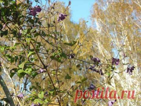 Как укрыть клематисы на зиму и не загубить растение, наделав ошибок: 4 полезные подсказки