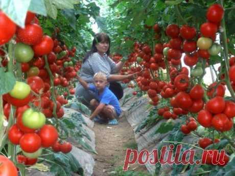Супер-рецепт для томатов: очень эффективная подкормка! Рецепт очень прост и эффективен!