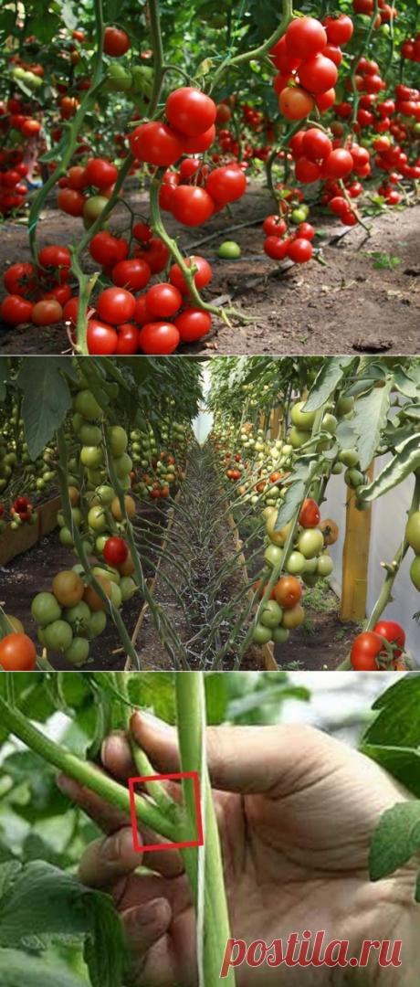 Выращивание помидор в домашней теплице | Бизнес кейс