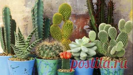 Как поливать кактусы, чтобы добиться цветения и красивой формы растений Как часто поливать кактус, чтобы он нормально себя чувствовал Одним из самых главных условий ухода является правильный режим полива. Одна из главных проблем – людская забывчивость. Поскольку в календа...